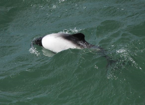 commersons dolphin_2_(c)simon pinder_1