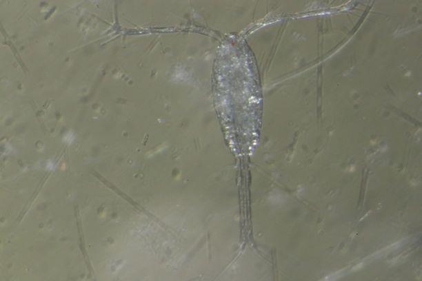 o. similis copepodite 4_1